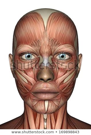3D · női · orvosi · alkat · izom · térkép - stock fotó © kjpargeter