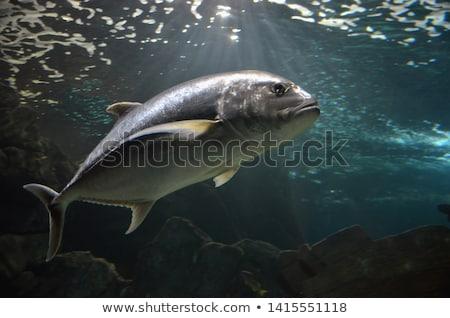Atum ilustração mar fundo azul natação Foto stock © bluering