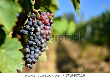 wine grapes in Italy Stock photo © magann