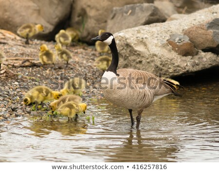 wild mother goose stays close to offspring on waterfront stock photo © cboswell