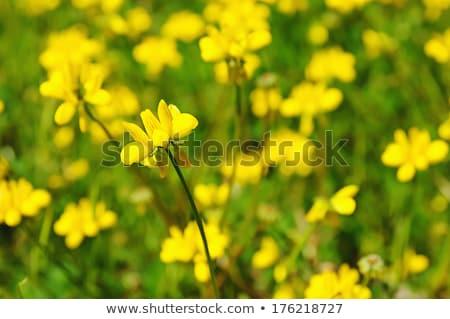 Flores amarelas florescimento primavera tempo natureza Foto stock © inaquim
