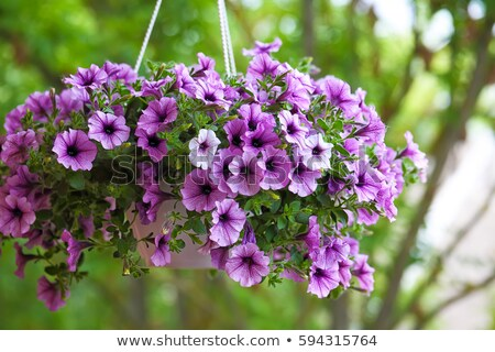Purple petunia flowers in the garden in spring time. Shallow depth of field Stock photo © Virgin