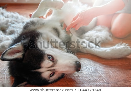veterinarian combs the dog's fur Stock photo © OleksandrO