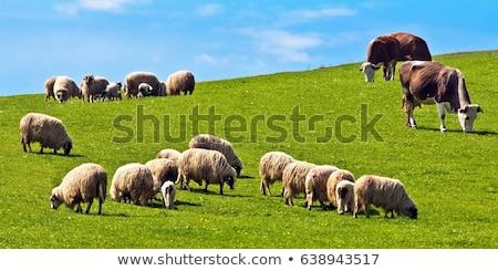 Koyun inekler yeşil ot yeme çim Stok fotoğraf © tab62