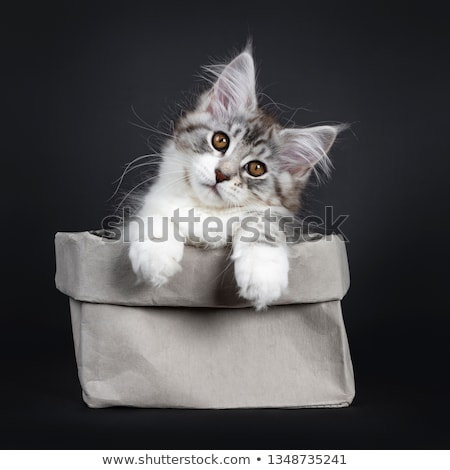 Majestic red silver Maine Coon cat kitten on black Stock photo © CatchyImages