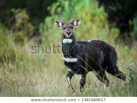 rare Menelik bushbuck, Ethiopia, Africa wilderness Stock photo © artush