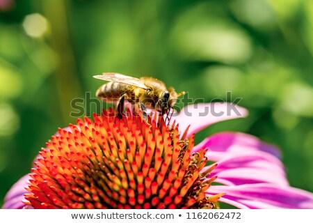 Abeja recoger néctar flor flor macro Foto stock © manfredxy