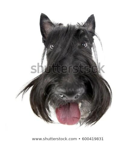 Weitwinkel erschossen liebenswert terrier isoliert weiß Stock foto © vauvau