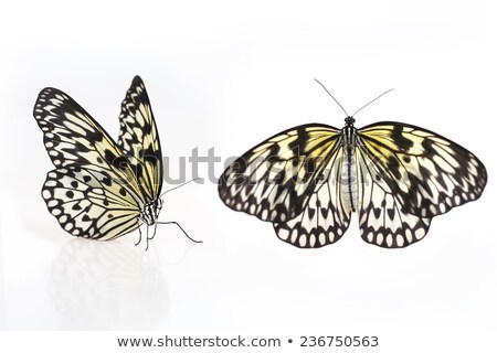black veined butterfly stock photo © smithore
