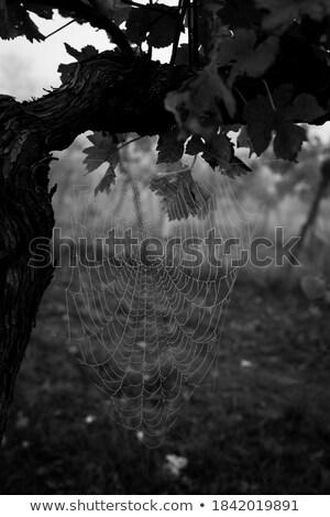 Uve ragnatela uva vino abbassare Foto d'archivio © tepic