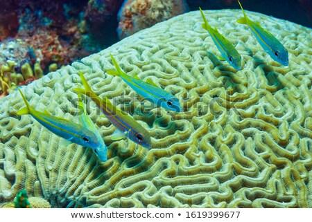 Small Fish Swimming Over Brain Coral Stock photo © Laracca