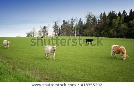 Cow in open field Stock photo © Komar