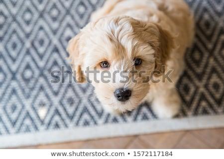 szczeniak · biały · tle · cięcia · domowych · cute - zdjęcia stock © eriklam