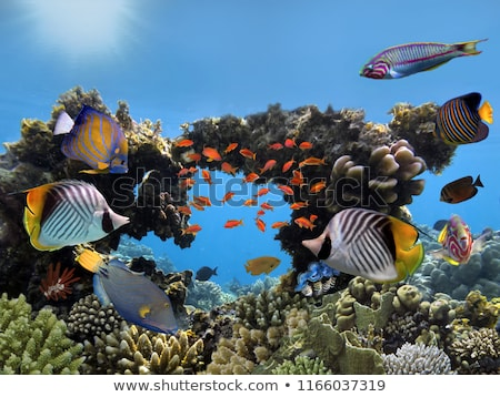 Lionfish and tropical reef in the Red Sea. stock photo © stephankerkhofs