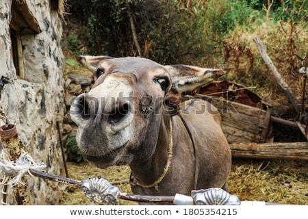 白 ロバ 馬 動物 ストックフォト © mobi68