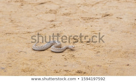 Sand Snakes Stock photo © emattil