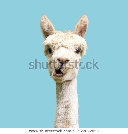 Grappig lama tonen tanden najaar bos Stockfoto © taviphoto