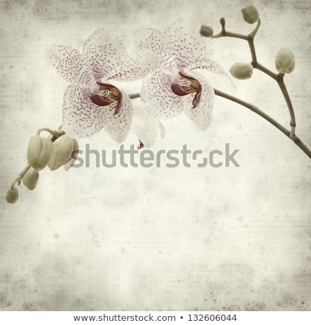 textured old paper background with white and magenta phalaenopsis orchid Stock photo © Zhukow