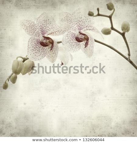 papel · velho · branco · magenta · orquídea · papel - foto stock © zhukow