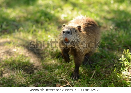Muskrat Sniffing Stock photo © ca2hill