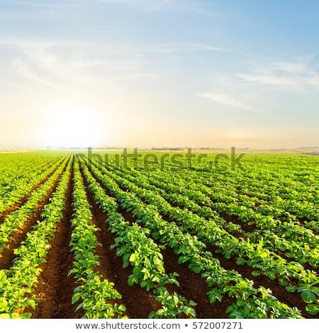 krumpli · mezők · homokos · föld · Tanzánia · férfi - stock fotó © discovod