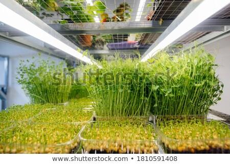 Chícharos creciente grano madurez verde naturaleza Foto stock © mayboro