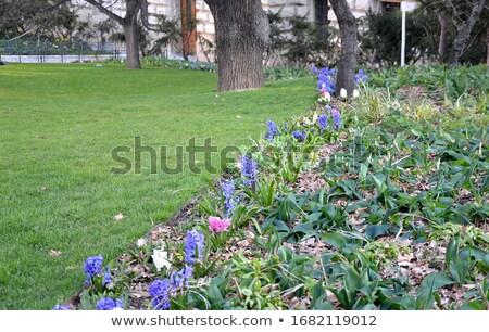 blue pink hyacint Stock photo © compuinfoto