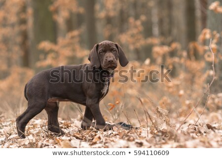 щенков · трава · собака · осуществлять · животного · желтый - Сток-фото © willeecole