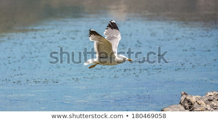 california gull flying over the beautiful Mono Lake  Stock photo © meinzahn
