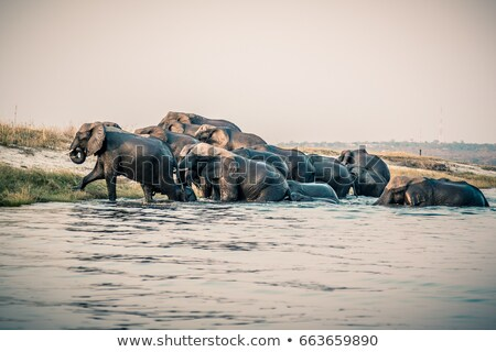 big elephant crossing the river stock photo © compuinfoto