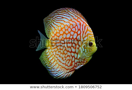 ディスカス · 魚 · カラフル · ショット · 青 - ストックフォト © cookelma