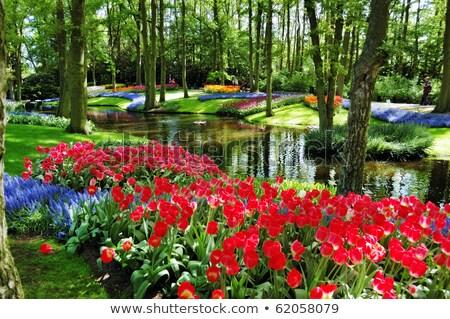 Amazing tulips in Keukenhof Garden. Stock photo © lypnyk2