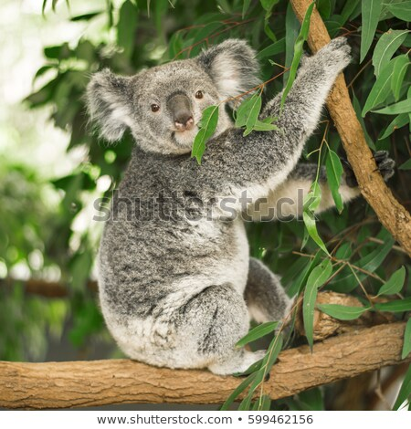 Koala sitting in a tree Stock photo © epstock