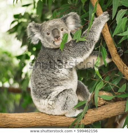 koala sitting in a tree stock photo © epstock