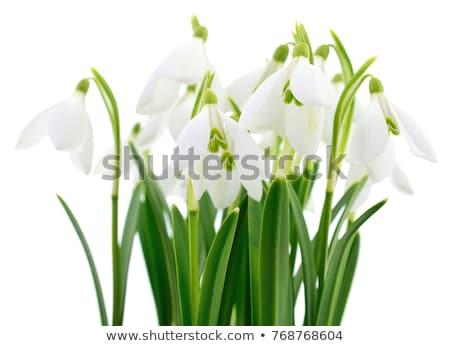 Spring snowdrops isolated on white Stock photo © tetkoren