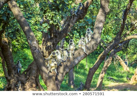 vervet monkeys at a tree in sariska national park stock photo © meinzahn