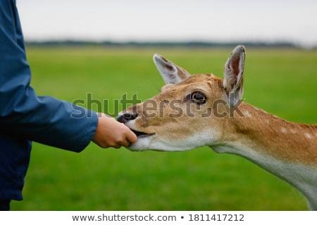 Jonge reekalf menselijke hand witte bont Stockfoto © njnightsky