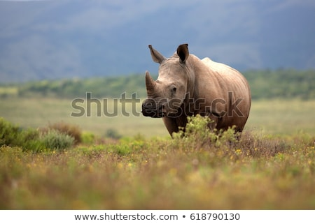 grazing white rhino in the kruger national park south africa stock photo © simoneeman