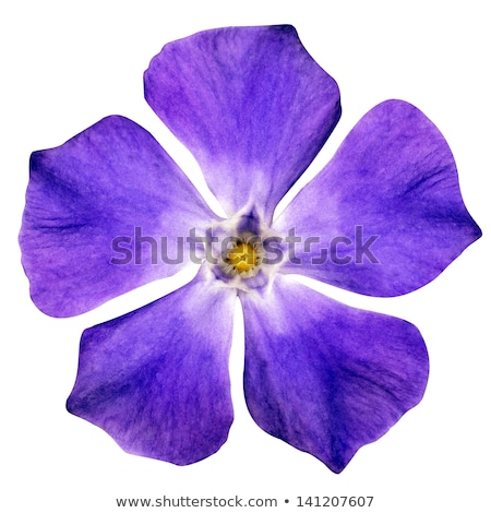 A fresh five-petal blue flower Stock photo © bluering