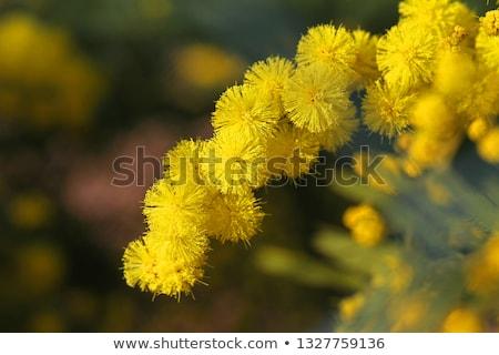 Zilver Blauw boom gele bloemen vol bloeien Stockfoto © AlessandroZocc