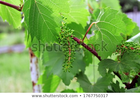 Unripe grapes with leaves Stock photo © mady70