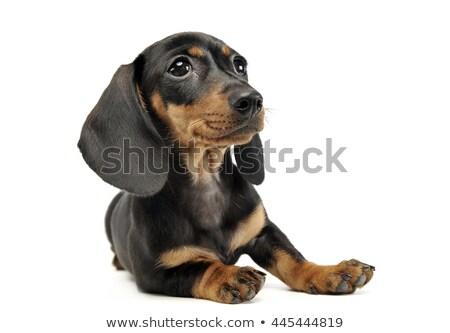 Cucciolo capelli bassotto rilassante studio Foto d'archivio © vauvau