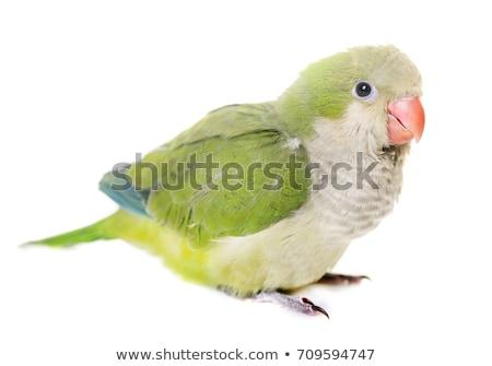 Keşiş stüdyo kuş yeşil mavi hayvan Stok fotoğraf © cynoclub