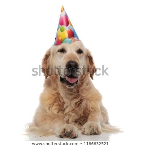 Aranyos labrador visel születésnap kalap pihen Stock fotó © feedough