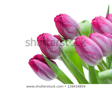 букет красный Purple Tulip цветы границе Сток-фото © neirfy