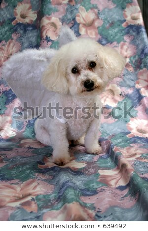 bichon frise and halloween Stock photo © cynoclub