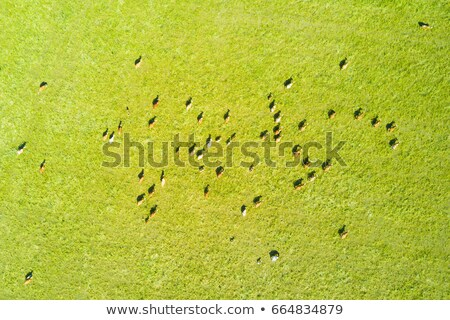 birds eye view from drone to herd of cows is grazed on a cattle stock photo © artjazz