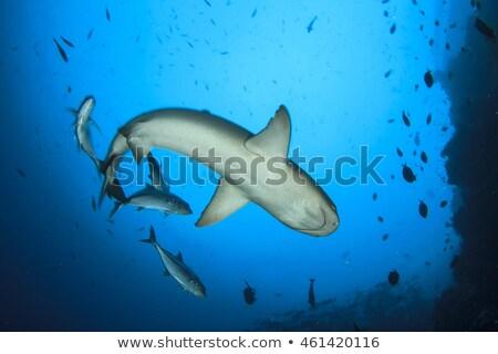Fekete borravaló cápa Maldív-szigetek sekély víz Stock fotó © borisb17