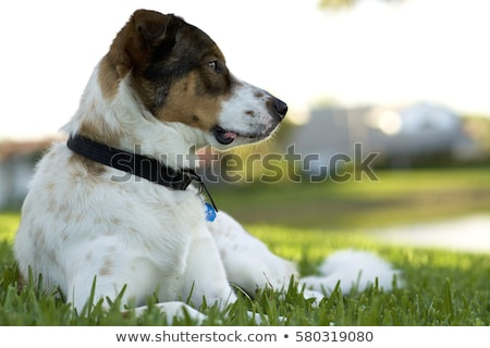 An adorable mixed breed dog and a german shepherd Stock photo © vauvau