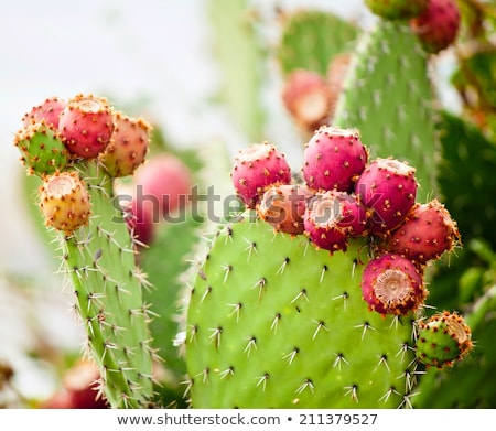 Stock photo: prickly pear cactus fruit